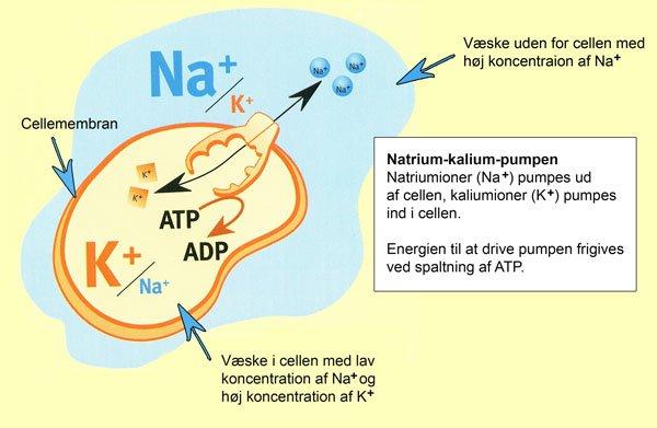 Natrium och kalium